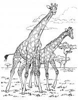 coloriage-afrique-girafes free to print
