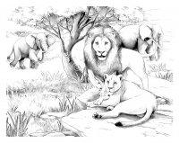 coloriage-afrique-lions free to print