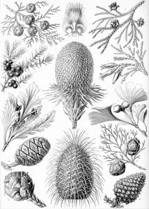 coloriage-adulte-illustration-vintage-coniferae free to print